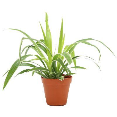 Chlorophytum 'Spider Plant' (P8.5c)