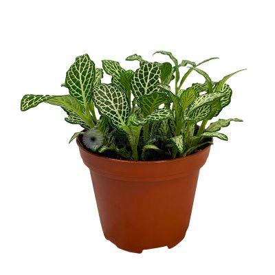 Fittonia Green (P8c)