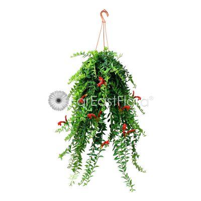 Aeschynanthus Lipstick 'Small Leaf' Hanging (P15c)