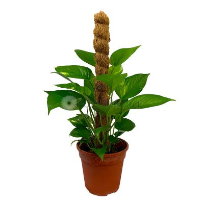 Money Plant with Moss Stick 2ft (P15c)