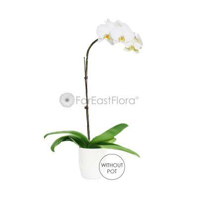 Phalaenopsis Orchid Single (Polybag)