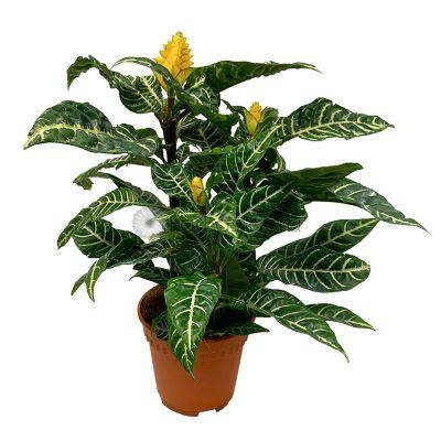 Aphelandra Squarrosa 'Zebra Plant' (P15c)