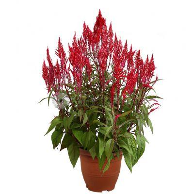 Celosia Single in Pot (P26c)