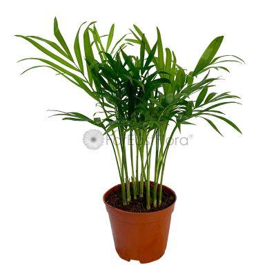 Chamadorea Elegans (P8.5c)