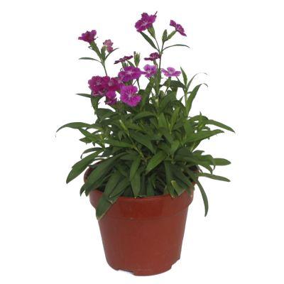 Dianthus 'Carnation' (P15c)