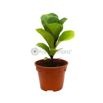 Ficus Lyrata 'Fiddle Leaf' (P15c)