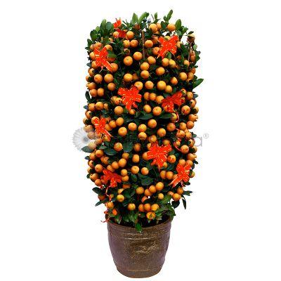 """Four Season Lime (H1.2m-1.3m) in pot - 12"""" (Standard)"""