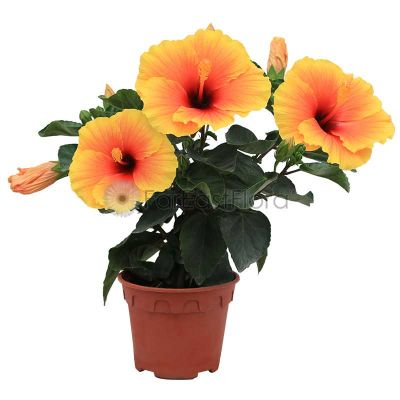 Hibiscus Hybrid (P15c)