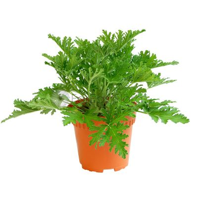 Pelargonium (P15c) - 'Mosquito Plant Geranium'