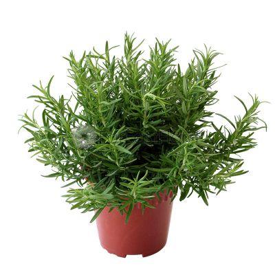 Rosemary (P15c)