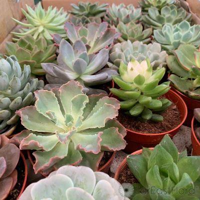Succulents Mixed (P8.5c)