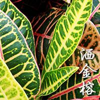Golden Harvest (Croton)