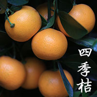 Four Seasons Lime
