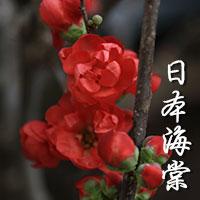 Japanese Begonia