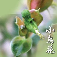 Pedilanthus