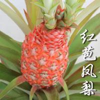 Pineapple (Aananas Bracteatus)